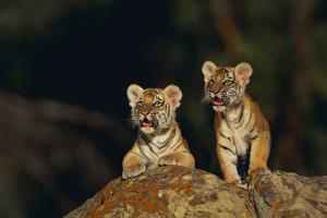 Bengal Tiger Cubs on Rocks by DLILLC