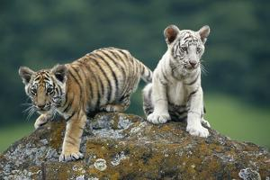 Bengal Tiger Cubs Perched on Rock by DLILLC
