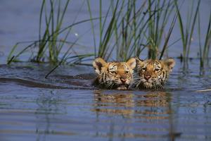Bengal Tiger Cubs Swimming by DLILLC