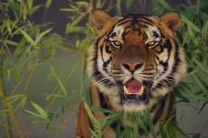 Bengal Tiger in Bamboo by DLILLC