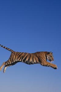 Bengal Tiger Jumping by DLILLC
