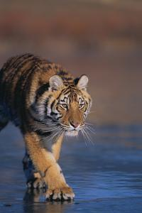 Bengal Tiger on Frozen Lake by DLILLC