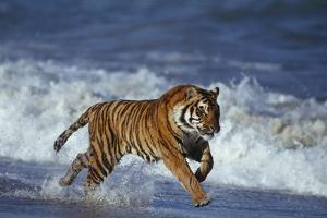 Bengal Tiger Running along the Beach by DLILLC