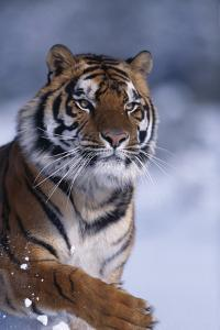Bengal Tiger Running in Snow by DLILLC