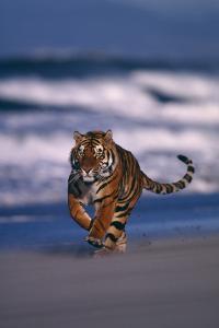 Bengal Tiger Running on Beach by DLILLC