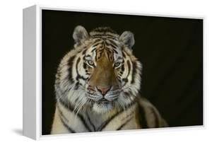 Bengal Tiger by DLILLC