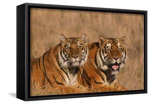 Bengal Tigers Lying in Field by DLILLC