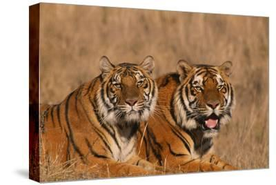 Bengal Tigers Lying in Field