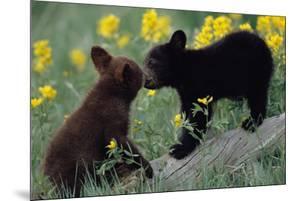 Black Bear Cubs Pecking by DLILLC