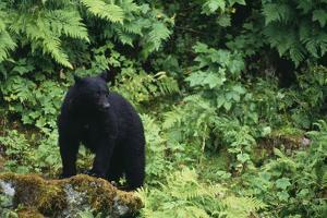 Black Bear in Forest by DLILLC