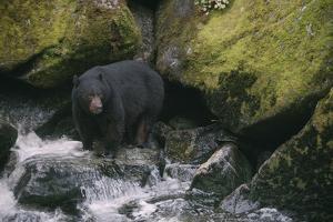 Black Bear in Stream by DLILLC