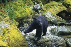 Black Bear Standing on Rocks by DLILLC