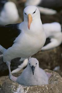 Black-Browed Albatross and Chick by DLILLC