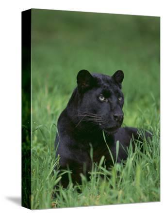 Black Panther Sitting in Grass