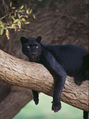 Black Panther Sitting on Tree Branch