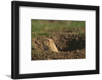 Black-Tailed Prairie Dog Peeking out of Den
