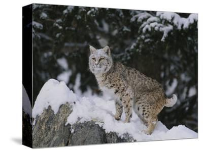 Bobcat Standing in Snow