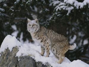 Bobcat Standing in Snow by DLILLC