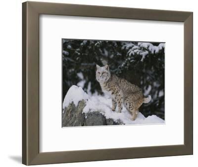 Bobcat Standing in Snow