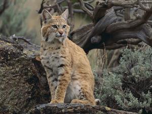 Bobcat by DLILLC