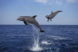 Bottlenosed Dolphins in Caribbean Sea by DLILLC