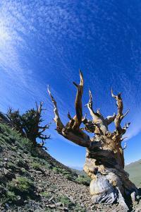 Bristlecone Pine by DLILLC