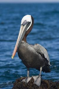 Brown Pelican by DLILLC