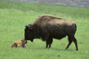 Buffalo and Calf by DLILLC