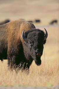 Buffalo by DLILLC