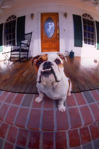 Bulldog Guarding House from Porch by DLILLC