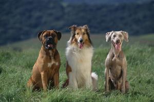 Bullmastiff, Collie and Weimaraner in Field by DLILLC