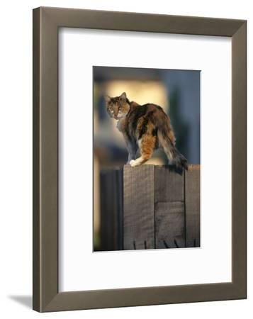 Calico Cat on Wooden Fence