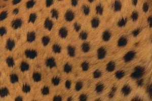 Cheetah Fur by DLILLC