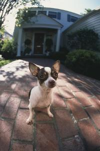 Chihuahua on Path by DLILLC