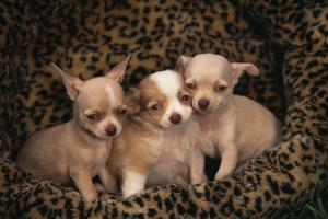 Chihuahua Puppies in Dog Bed by DLILLC