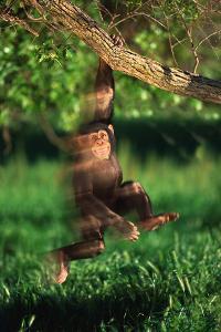 Chimp Swinging from Tree Branch by DLILLC