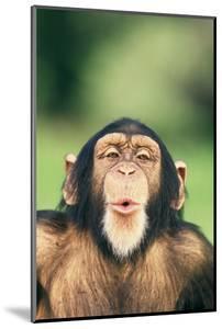 Chimpanzee Puckering its Lips by DLILLC