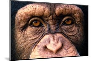 Chimpanzee's Eyes by DLILLC