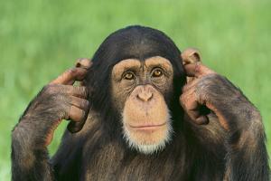 Chimpanzee by DLILLC