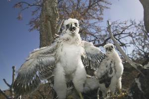 Cooper's Hawk by DLILLC