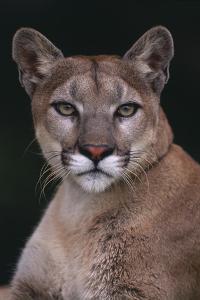 Cougar by DLILLC