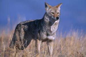 Coyote in Field by DLILLC