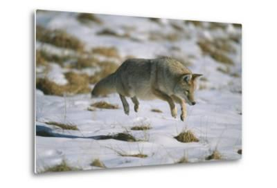 Coyote Leaping on Vole in Snow