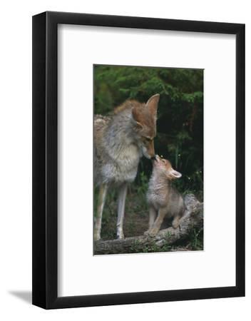 Coyote Mother and Pup