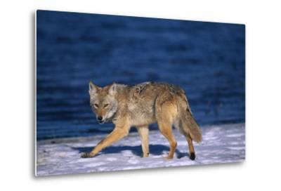Coyote Walking in Snow next to Water
