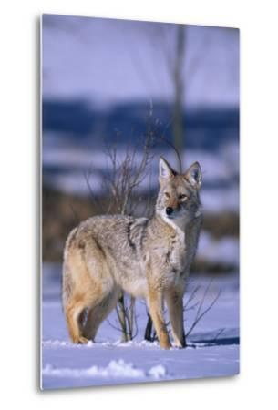 Coyote Walking in Snow
