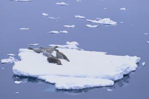 Crabeater Seals on Iceberg by DLILLC