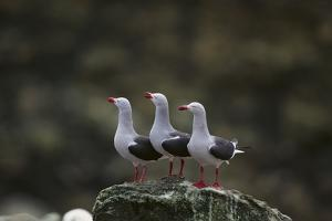Dolphin Gulls in a Row by DLILLC