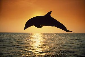 Dolphin Leaping from Water by DLILLC