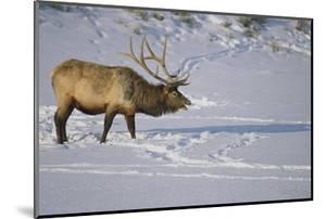 Elk by DLILLC